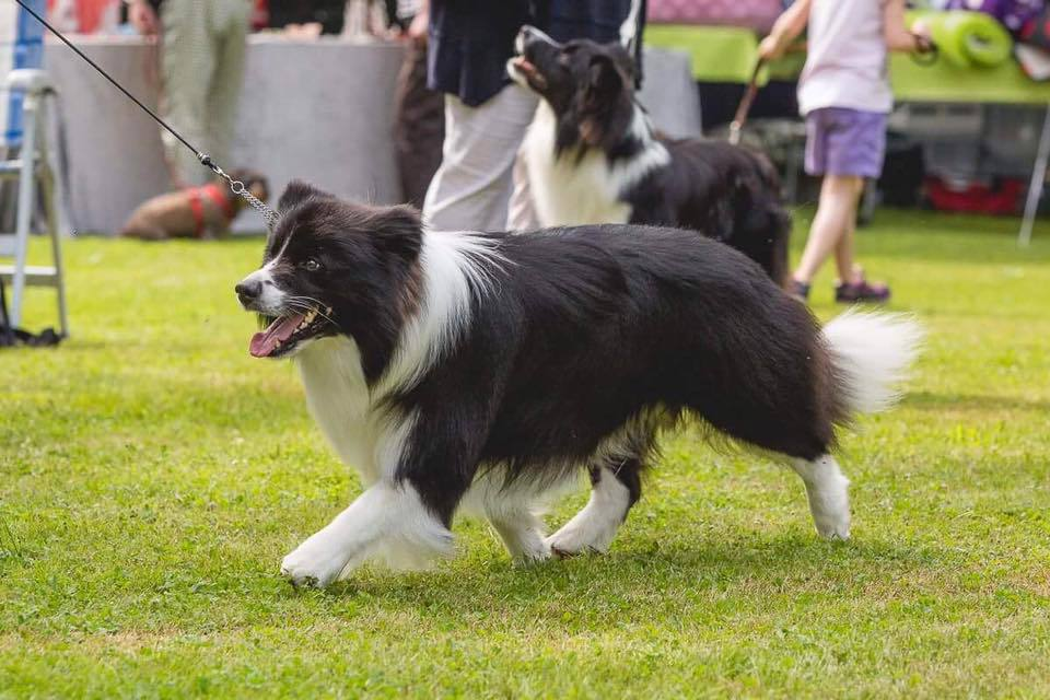 Simaro Border Collies - News 2017