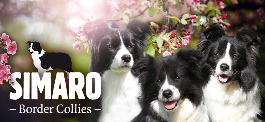 Simaro Border Collies